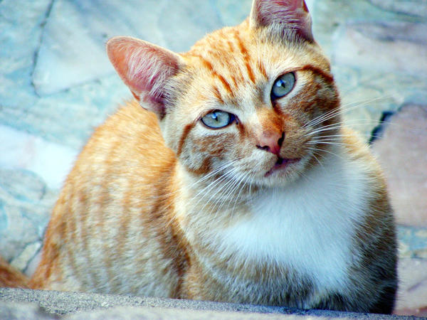 Orange And White Cat With Blue Eyes | www.pixshark.com ...