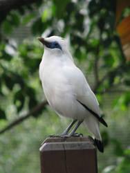 Bali Starling 03