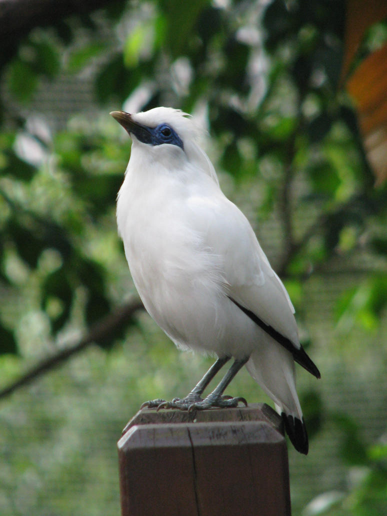 Bali Starling 03 by Ghost-Stock