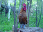 Ghoul the rooster