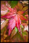 Autumn Acer by grimleyfiendish