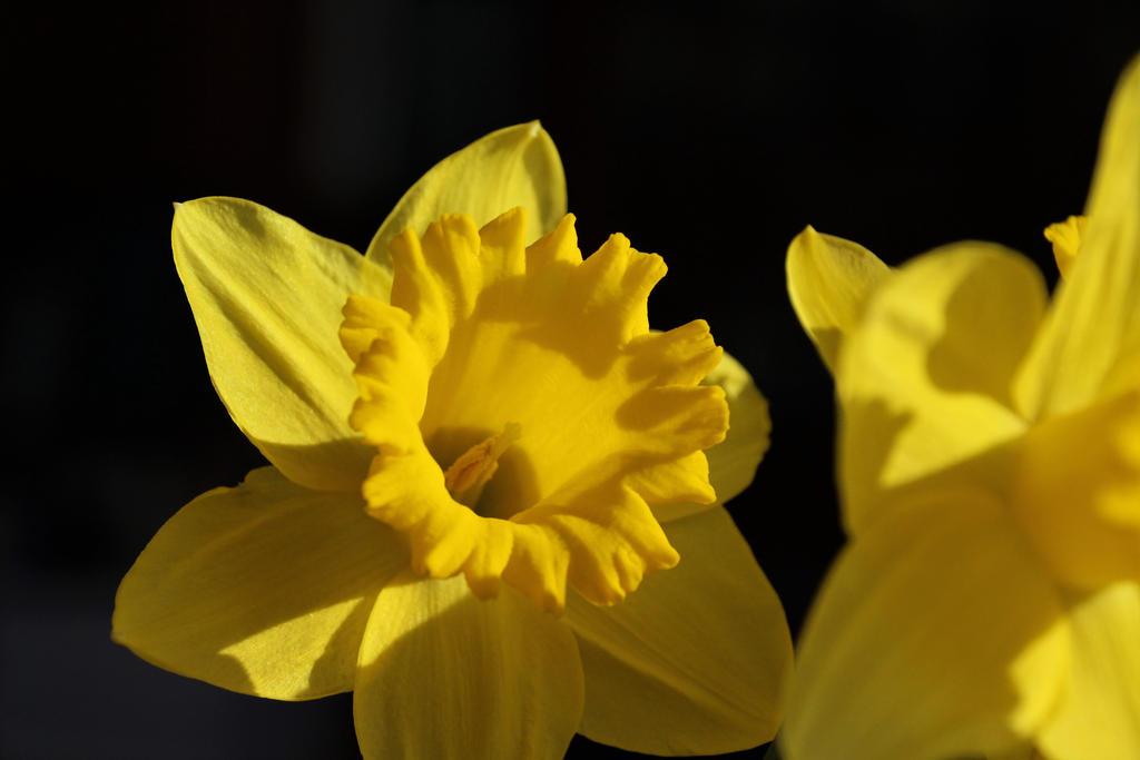 Daffodil by Aylany