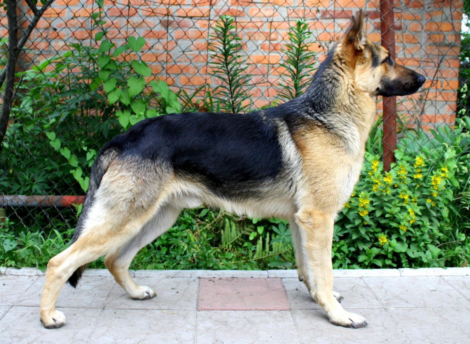 east german shepherd