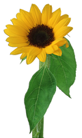 Flower 002 - Clear Cut PNG