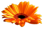 Flower 004 - Clear Cut PNG