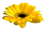 Flower 005 - Clear Cut PNG