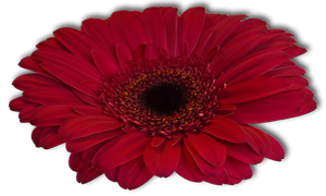 Flower 006 - Clear Cut PNG