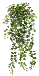 Ivy 001 - Clear Cut PNG
