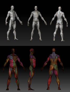 Ecorche Anatomy Study