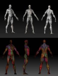 Ecorche Anatomy Study by karatastamer