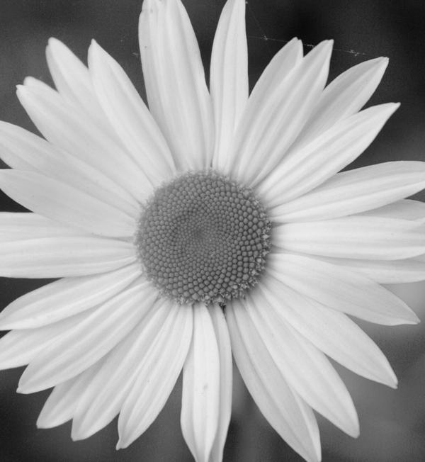 Daisy 2011 Black and White by RachelDS on DeviantArt