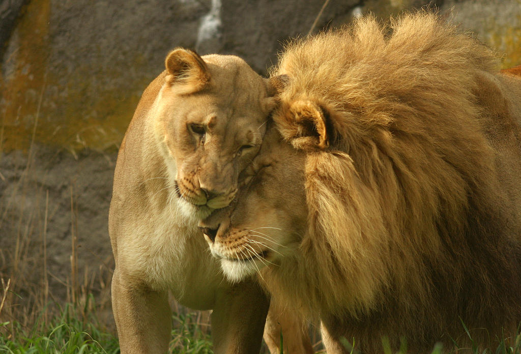 Female and male lion love