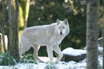 White Wolf in Winter