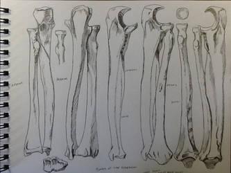 Forearm Bone Study from Artistic Anatomy by BillyDoubleU