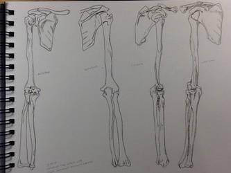 Bones of the Upper Limb- Study by BillyDoubleU