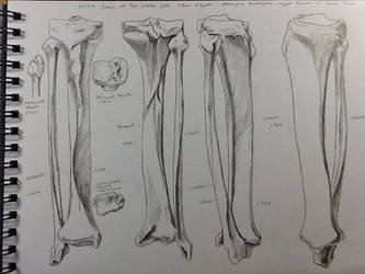 Tibia Fibula Bone Study by BillyDoubleU
