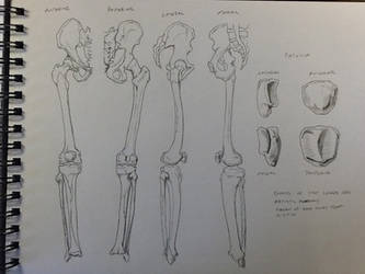 Bones of the Lower Leg with Patella by BillyDoubleU