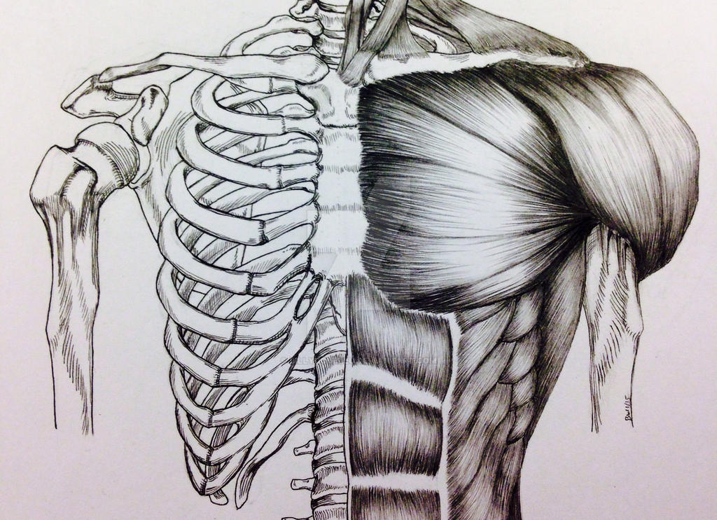torso bone/muscle study by billydoubleu