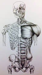 Skull to Pelvis Bone/Muscle Study Front View by 3SticksIllustration