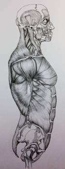 Side View Skull to Pelvis Bone/Muscle Study by BillyDoubleU