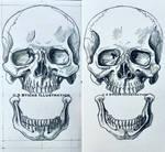 Anterior Skulls by 3SticksIllustration