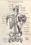 Posterior Muscle and Bone Study Labeled by 3SticksIllustration