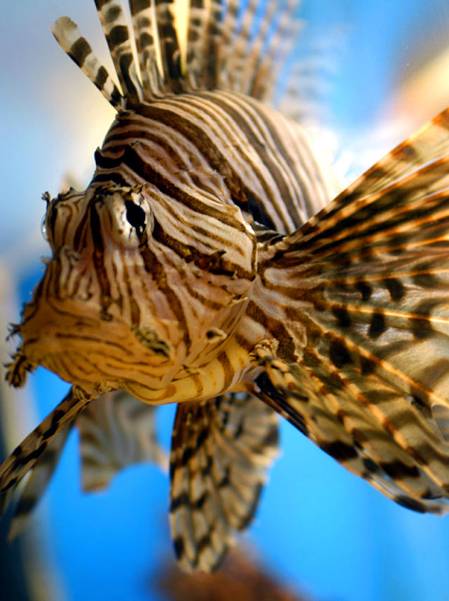 Lion Fish by magikfoto