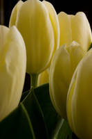 Tulips by momary