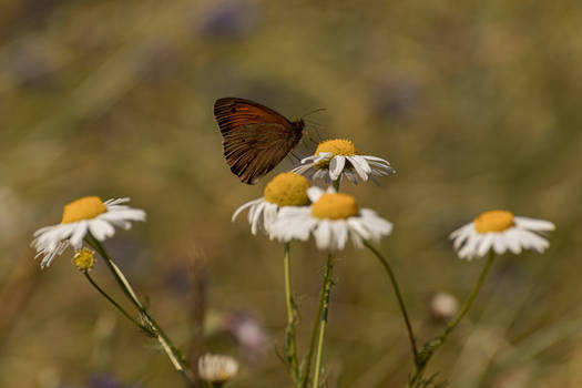 butterfly pamphilus