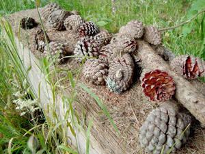 Autumn Cones