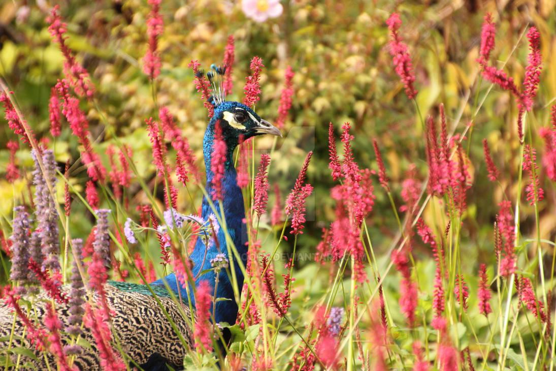 Peacock in autumn sun