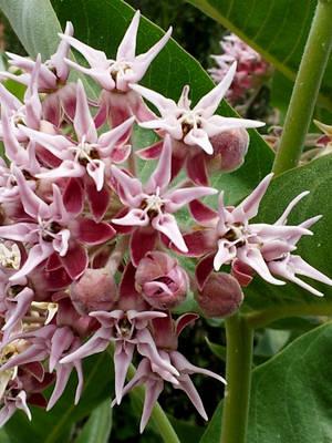 Pink Star by Plant-Nerd