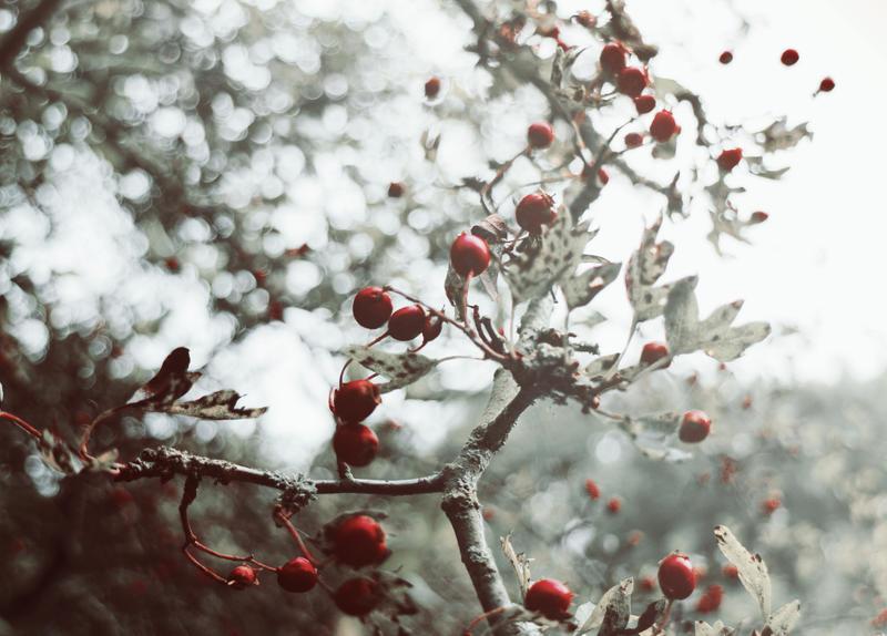 Winter berries by XxFreakOfNaturexX