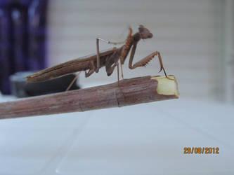 Praying Mantis by Alfaraptor