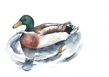 100 Birds: #8 Mallard Duck by DundalkChild