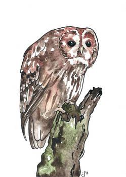 100 Birds: #11 Tawny Owl