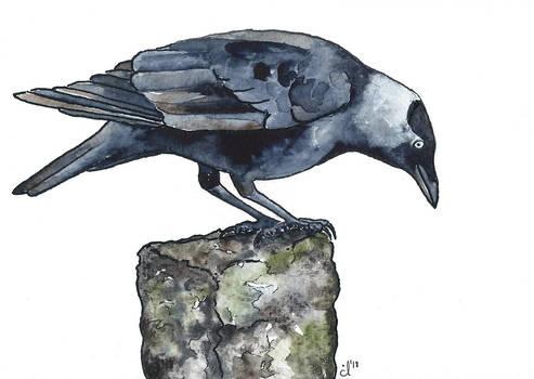 100 Birds: #13 Jackdaw