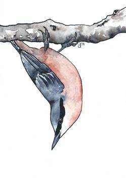 100 Birds: #14 Eurasian Nuthatch