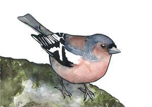 100 Birds: #16 Common Chaffinch