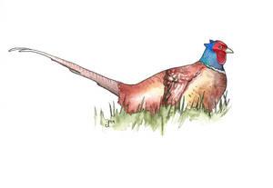 100 Birds: #18 Common Pheasant