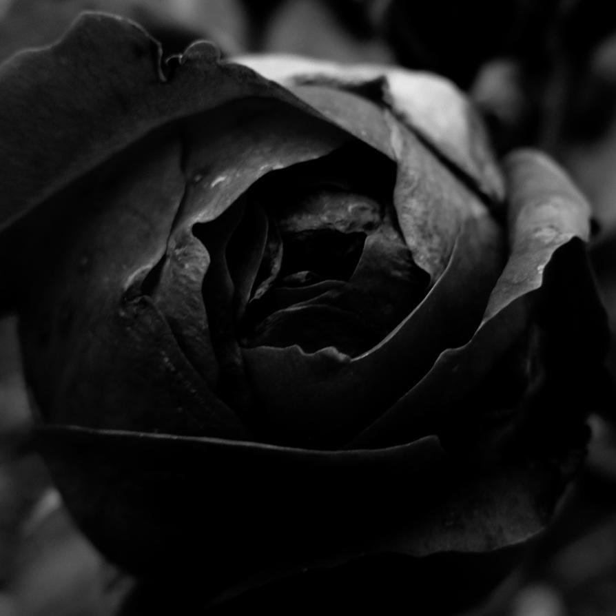 Black Rose Ͽ� Gostica: Ten Black Roses By DpressedSoul On DeviantArt