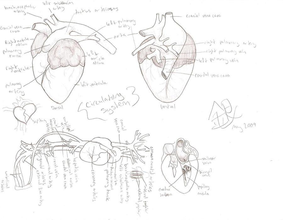 Pig Circulatory System by Kathalaura - 88.9KB