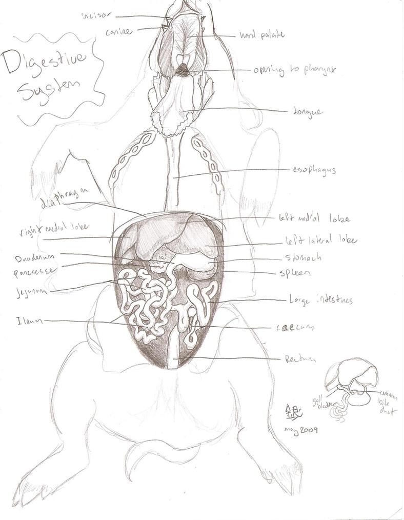 pig digestive system labeled diagram