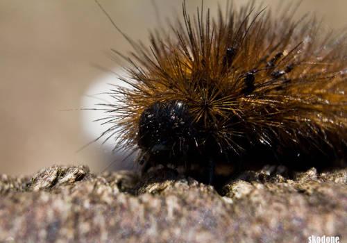 Fluffy Caterpillar II
