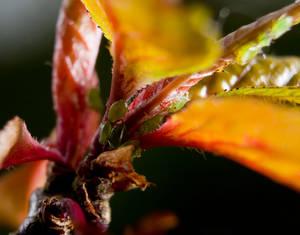 Greenflys