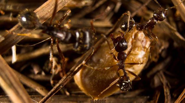 Big Ant trouble
