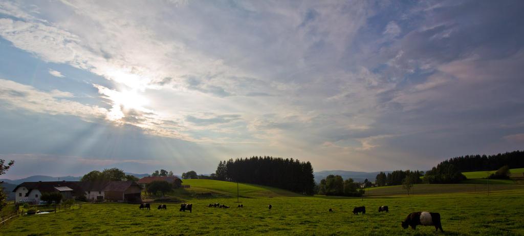 Galloway Cattle by sKodOne