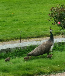peacocks with young