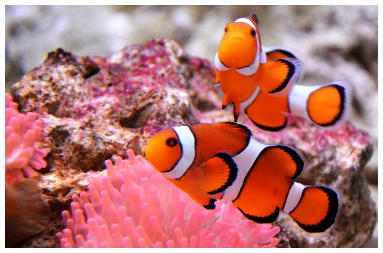 Clownfishes by hmdll on deviantART