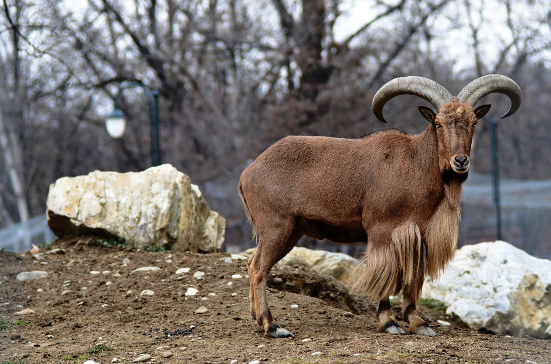 Stock - Wild Goat by hmdll